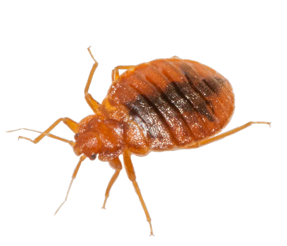 bed_bug_PNG7